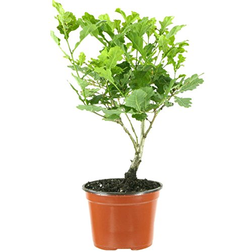 Quercus robur, English oak, 4 ans B01KWJQI8G Bonsaischule Wenddorf